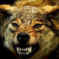 lobo_atacando1